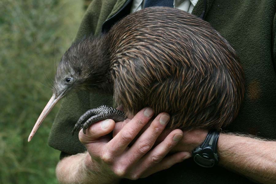 Finding Kiwi Birds in New Zealand